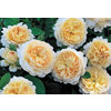Strauchrose &raquo;Crocus&reg;&laquo;