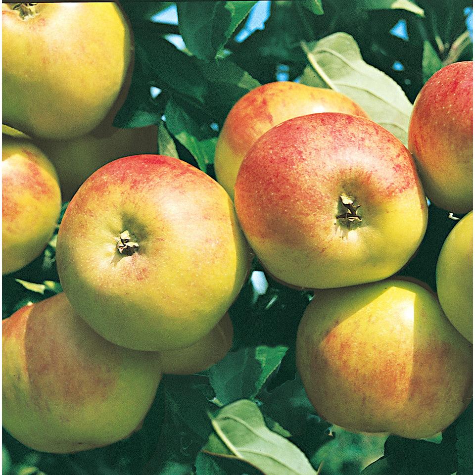 Apfelbaum �Apfel Elstar�