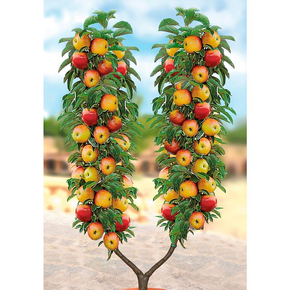 Apfelbaum in U-Form