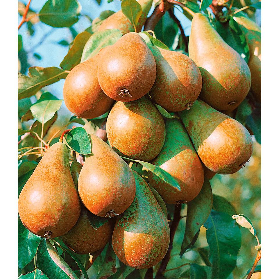 Birnenbaum »Birne Köstliche von Charneux«