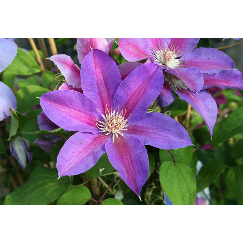 Clematis �Mrs N Thompson�