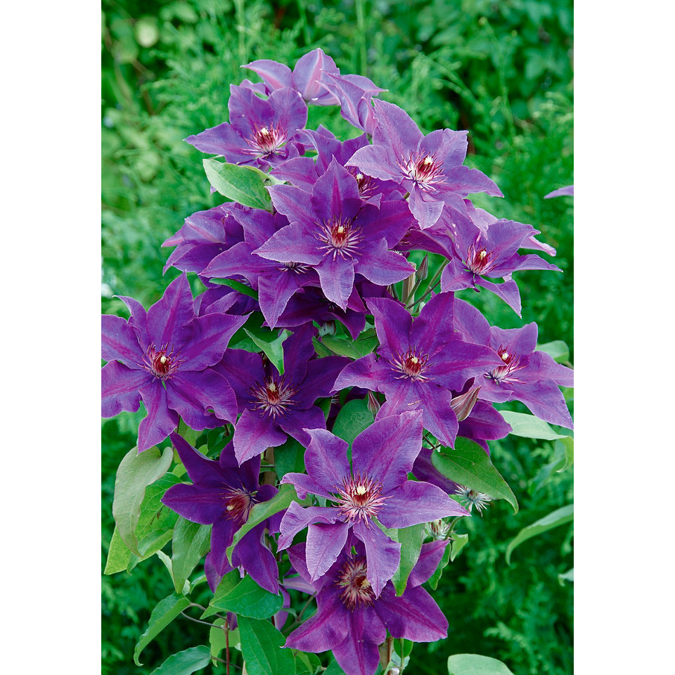 Clematis �The President� (2 Stck.)