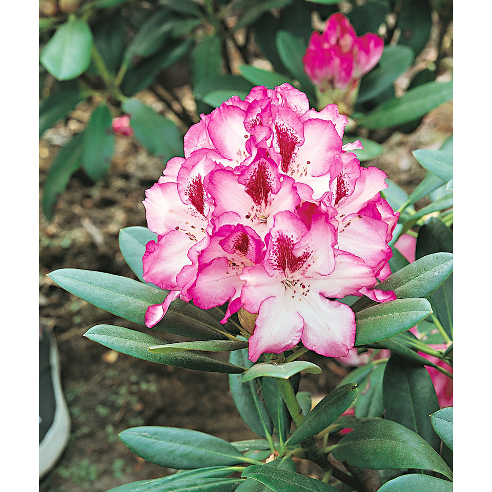 Exklusive Rhododendron �Hachmanns Charmant��