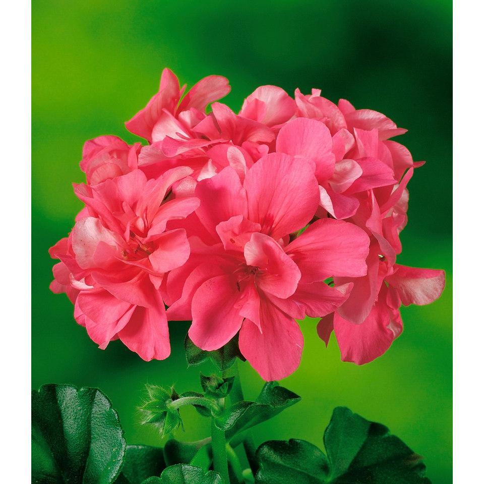 Geranie, stehend in rosa