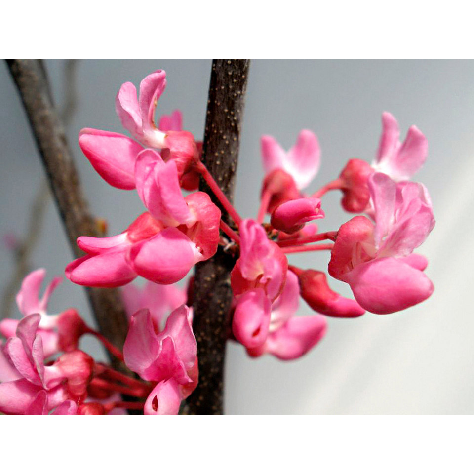 Kanadischer Judasbaum »Tennessee Pink«