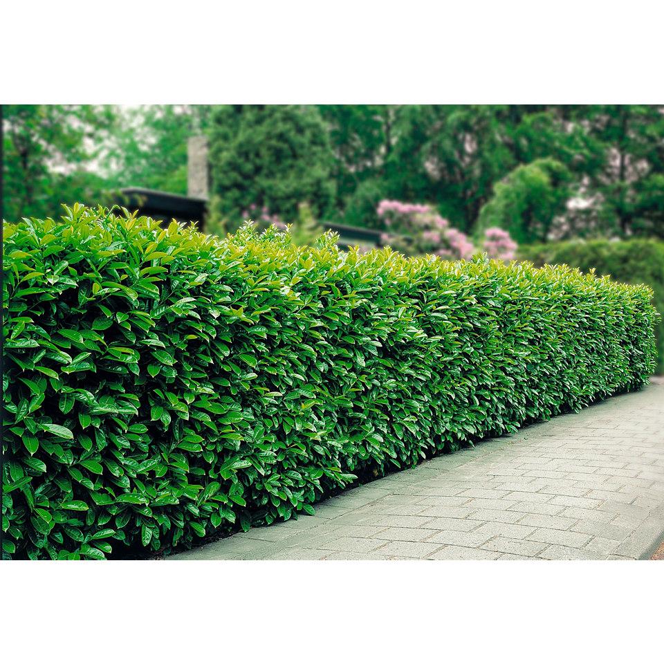 Kirschlorbeer �Prunus laur. Rotundifolia�