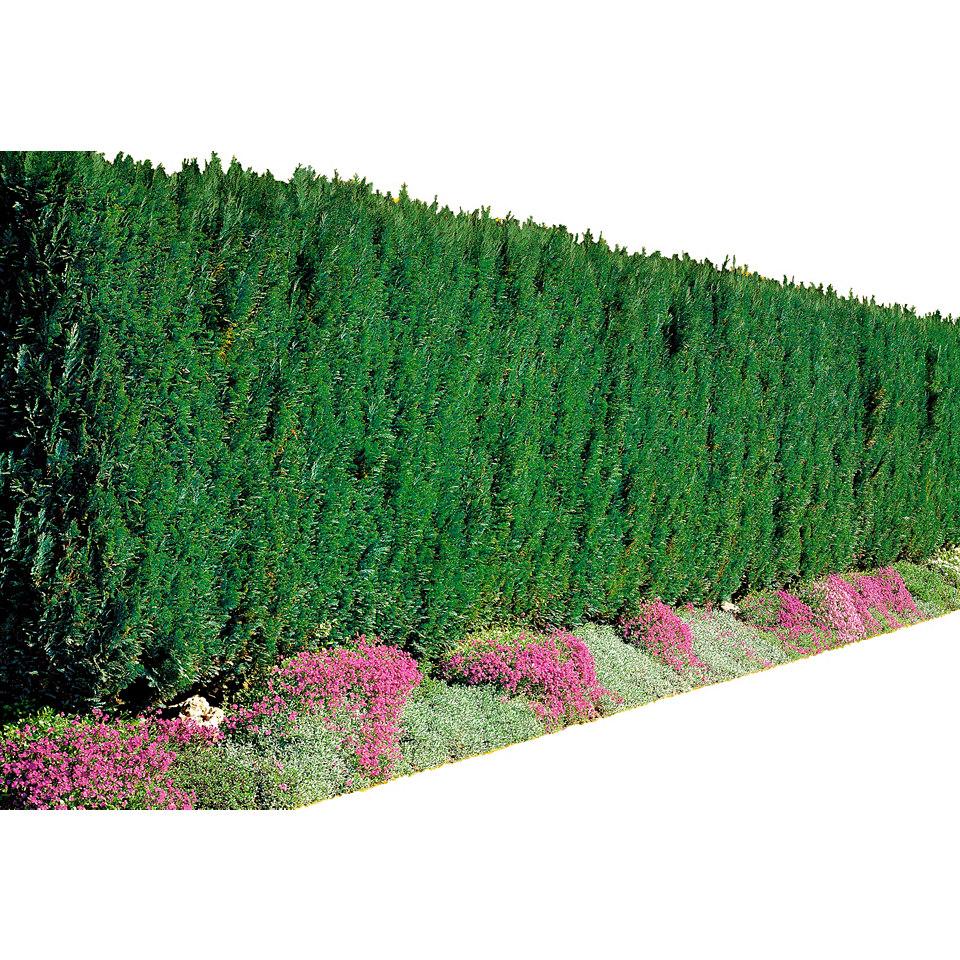 Lebensbaum »Thuja occ. Brabant«,Höhe 40-60 cm oder XXL-Ausführung
