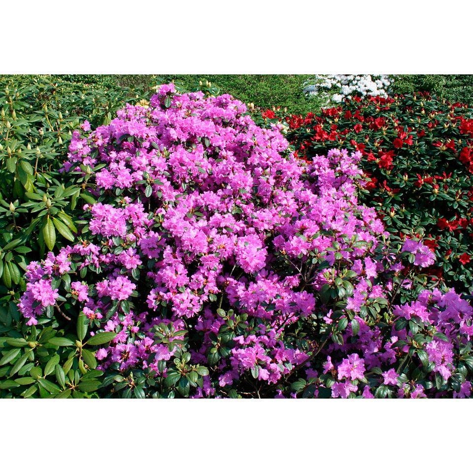 Rhododendron �Catawbiense Grandiflorum�