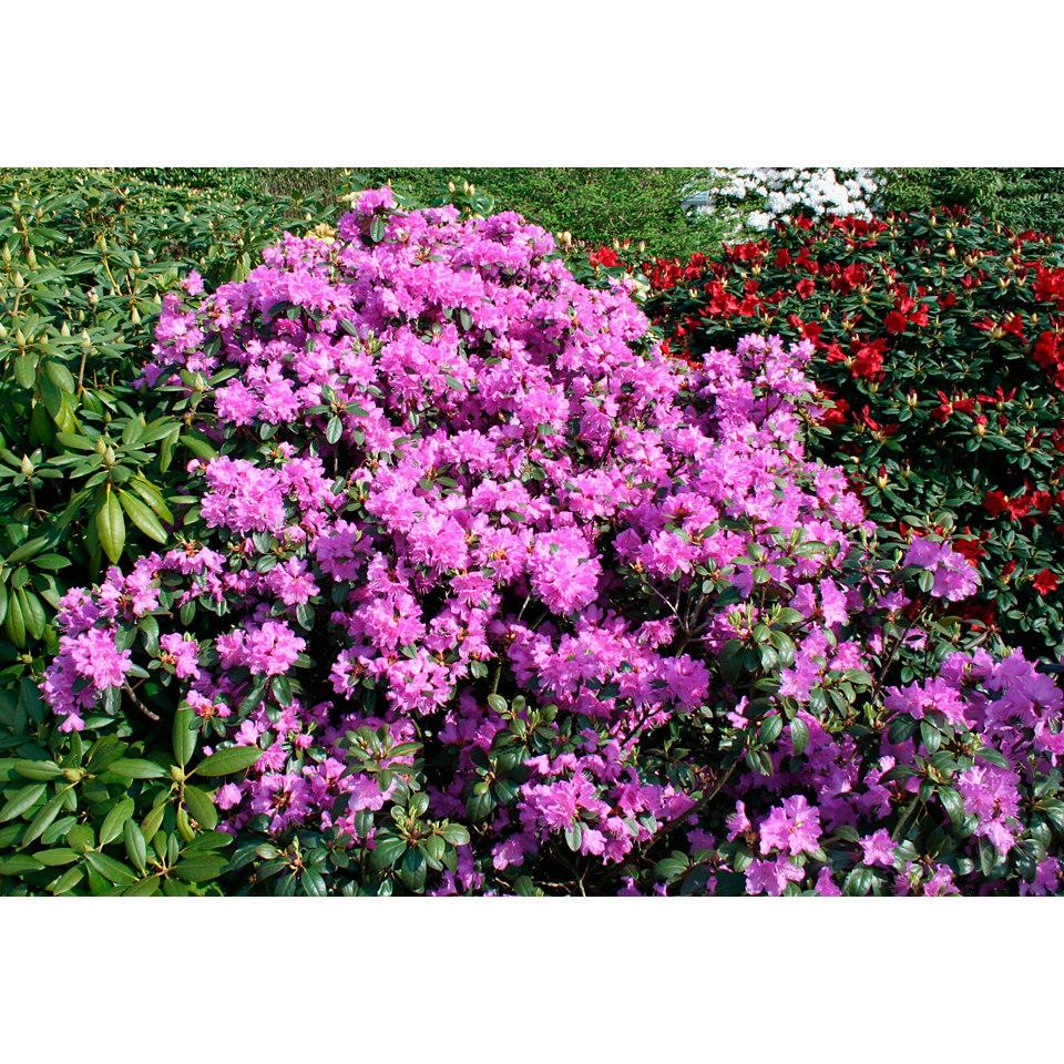 Rhododendron »Catawbiense Grandiflorum«