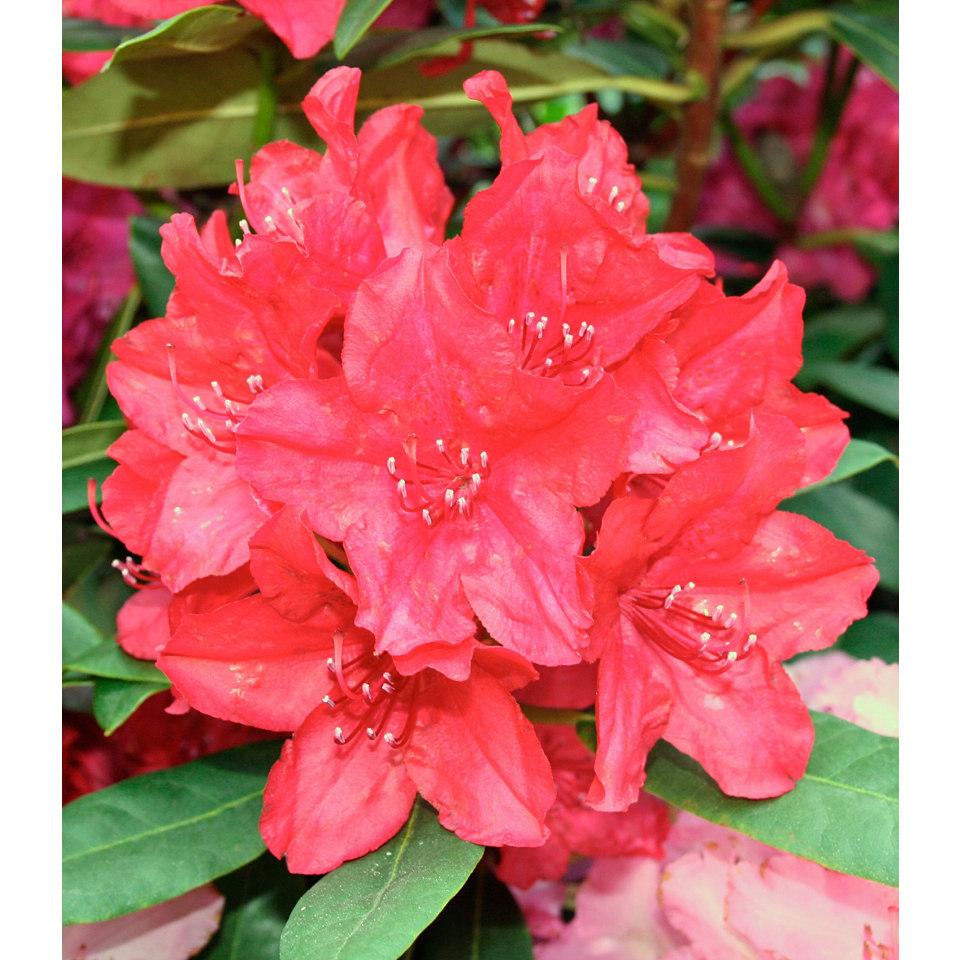 Rhododendron �Nova Zembla�