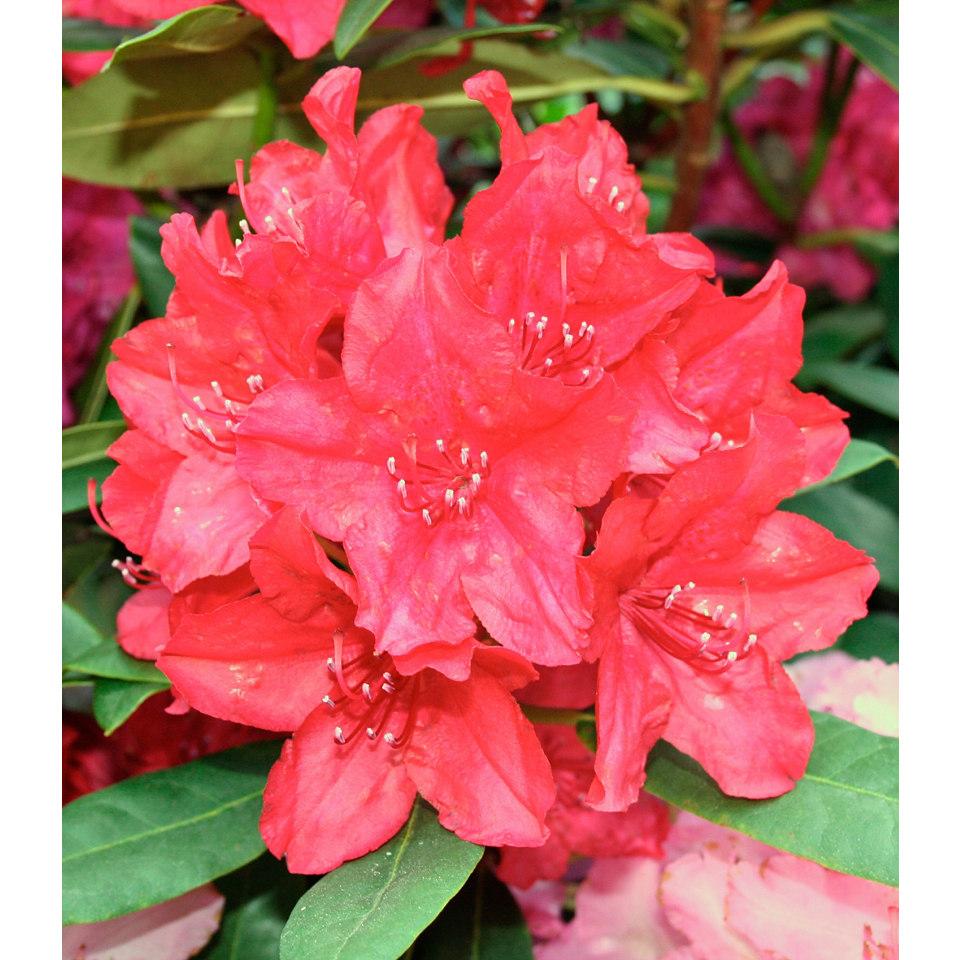 Rhododendron »Nova Zembla«