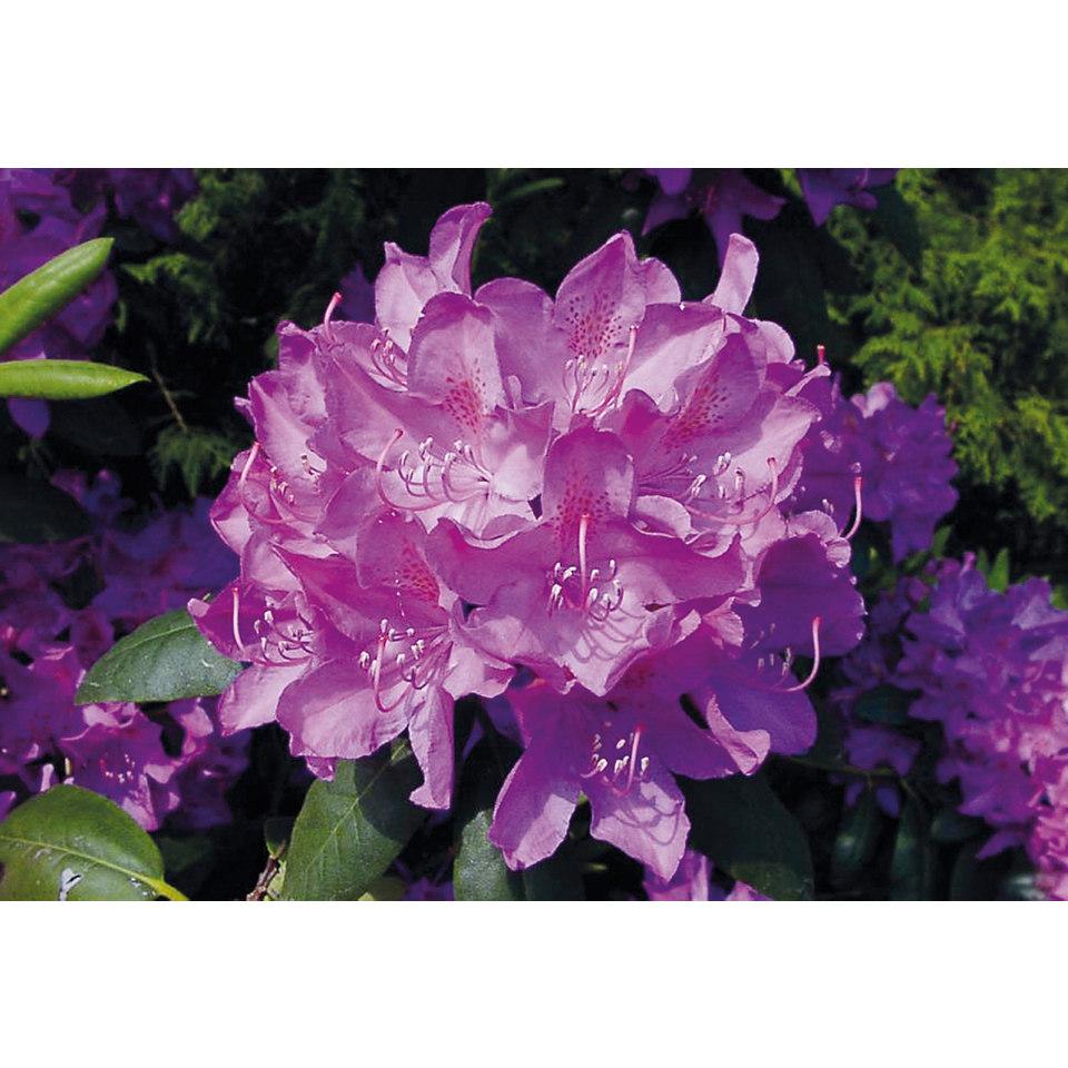 Rhododendron �Roseum Elegans�