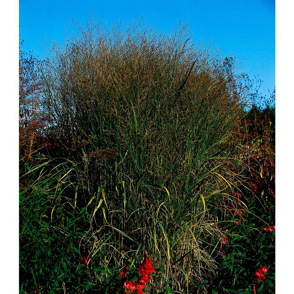 Rutenhirse (3 Stck.)