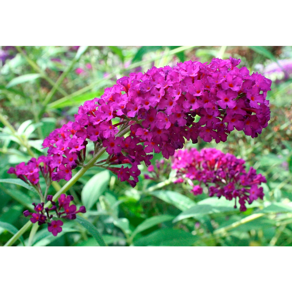 Sommerflieder �Royal Red�