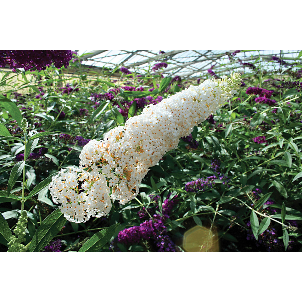Sommerflieder �White Bouquet�