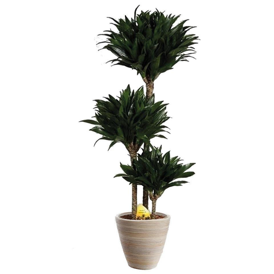 Zimmerpflanze »Drachenbaum Compacta«
