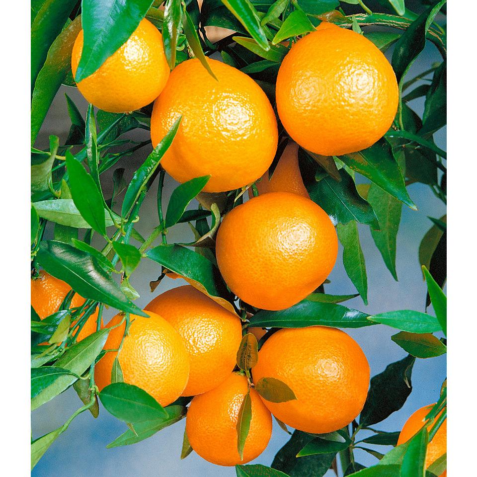 Zitrusbaum �Clementine�