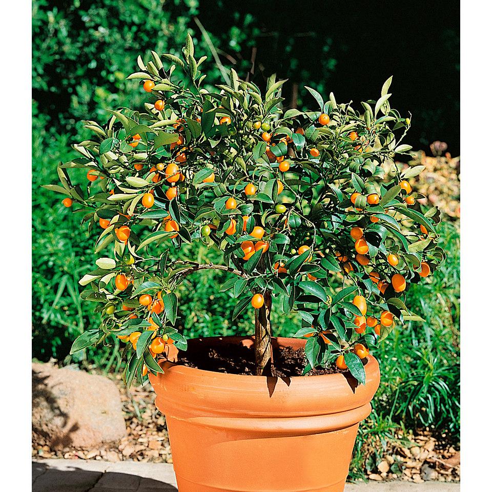 Zitrusbaum »Kumquat«