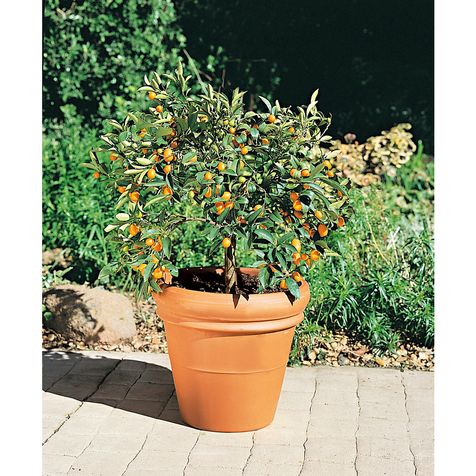 Zitrusbaum �Kumquat�