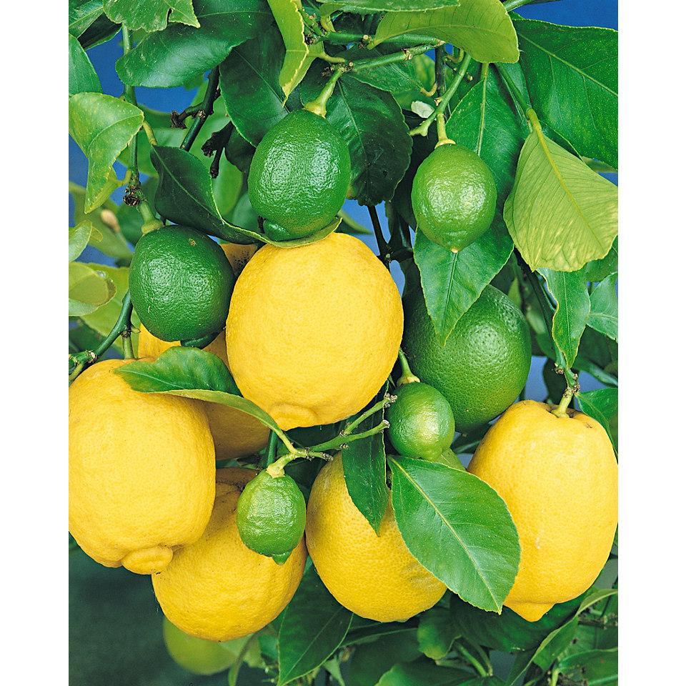 Zitrusbaum »Zitrone«