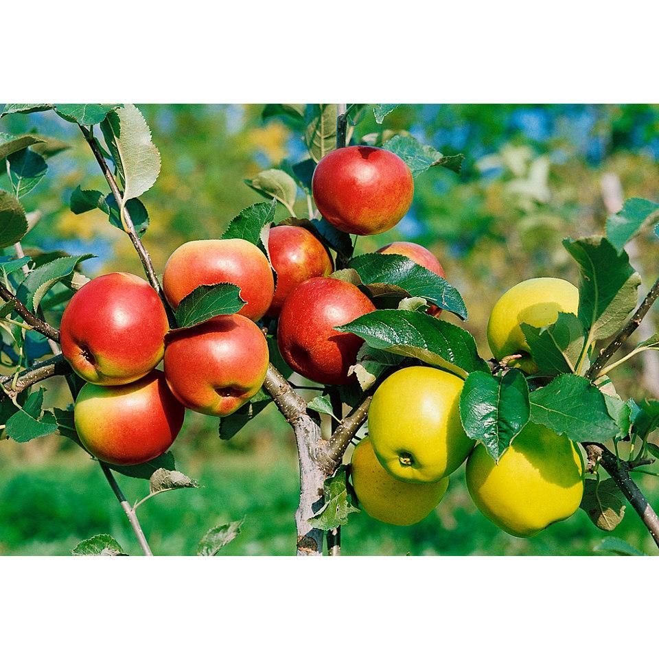 Zwergobstbaum Apfel �Croquella�