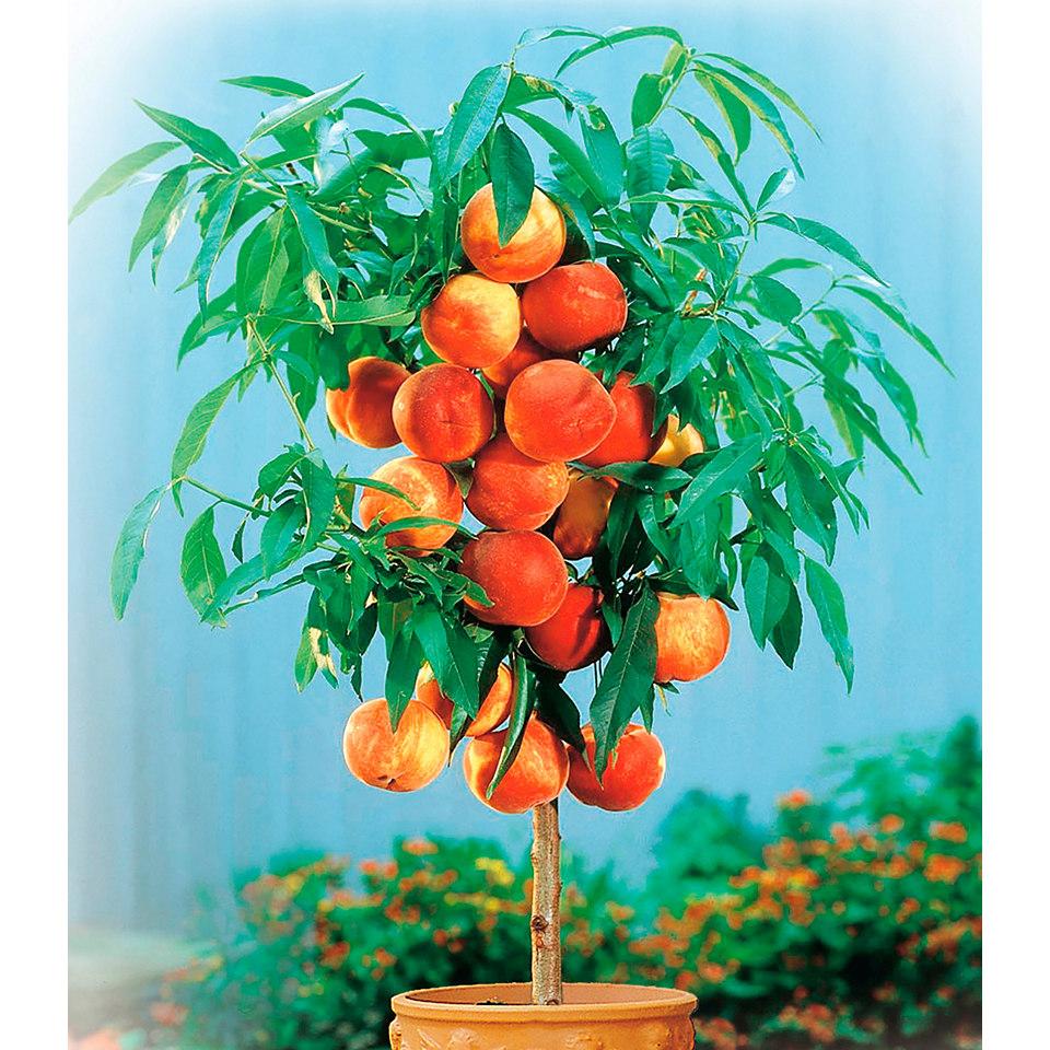 Zwergobstbaum Pfirsich